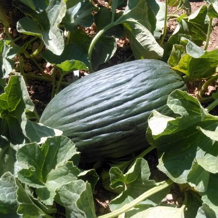 cropped-Melon-scaled-1.jpg